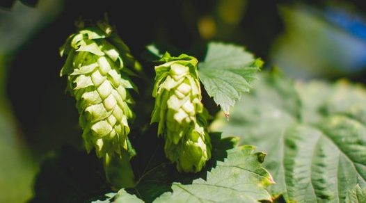 Pleasant+Valley+Chinook+Hops